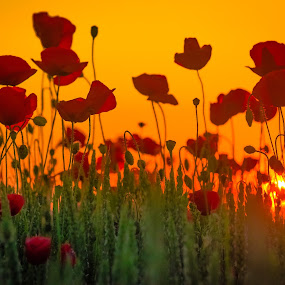 painting.... by Lupu Radu - Flowers Flowers in the Wild ( field, orange, red, green, dobrogea, sunset, grain, poppies, , #8rtcoMagazine )