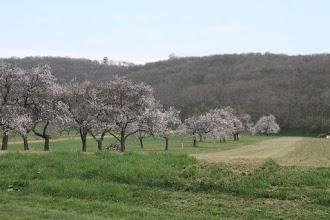 Photo: Z južnej strany obchádzam masív Königswarte, na úbočí krásne kvitnú stromy
