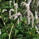 Pale Smartweed