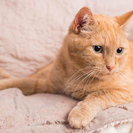Ginger. by Susan Pretorius - Animals - Cats Portraits