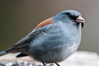 Photo: Dark-eyed junco chewing on sunflower seed