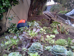 Photo: Initial plantings of succulents and other drought-tolerant plants, near foot of Hidden Garden Steps site (16th Avenue, between Kirkham & Lawton streets, in San Francisco's Inner Sunset District), after volunteers had cleared area of debris and decades of overgrowth; photo taken in December 2012 as structural repairs were beginning at top of Steps. For more information about the Hidden Garden Steps project, please visit http://hiddengardensteps.org and/or follow us on Twitter (@gardensteps), Facebook (Hidden Garden Steps), and Google+.