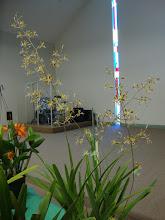 Photo: Encyclia Hybrid