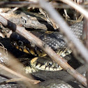 Grass snakes -mating