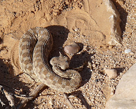 Photo: Ceraste cerastes (Vipera cornuta del Sahara). Tunisia 01/2012