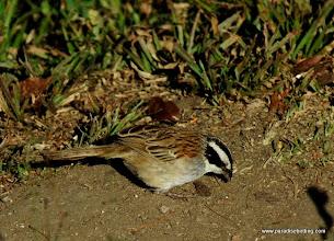 Photo: Stripe-headed Sparrow, Puerto Vallarta Botanical Gardens