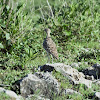 Courser - Two-banded Courser