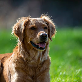 Myra by Ronnie Bergström - Animals - Dogs Portraits ( green, nature, sunshine, sweden, grass, dogs, animals, portrait, sun )