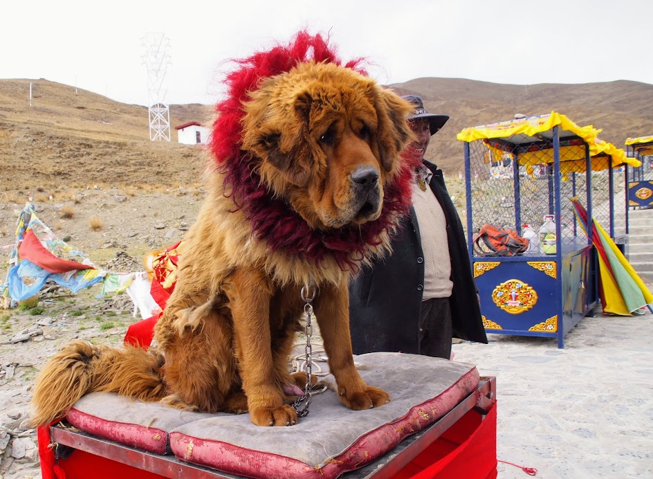 Take a photo of a Tibetan Mastiff for a fee. Or better yet, NOT take a photo.
