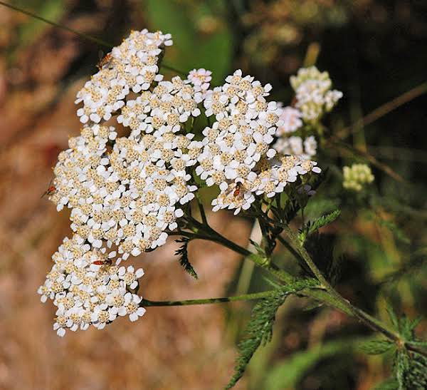 Yarrow Tea For The Colds And Flu Season