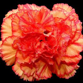 Oeillet by Gérard CHATENET - Flowers Single Flower