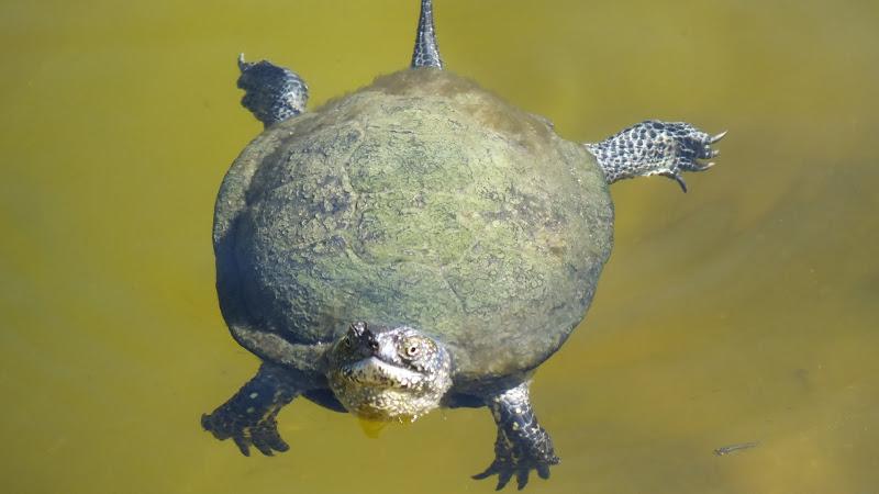 Tartaruga nuotatrice di biloscurio