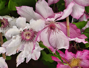 Photo: Clematis 'Omoshiro' closeup 4