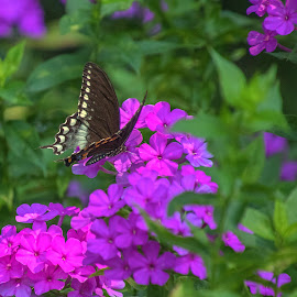 Swallowtail II by Judy Florio - Animals Insects & Spiders