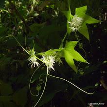 Photo: Wild cucumber (Echinocystis lobata)
