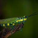 Flag Grasshopper