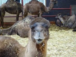 Photo: Een kameel heeft in de onder- en bovenkaak een rij kiezen,  heeft alleen in de onderkaak tanden. Het verhemelte is hard en daardoor kan een kameel scherpe doorns eten zonder zich te verwonden.