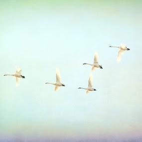 L is for Love by Tracy Lynn Hart - Digital Art Animals ( flying, flight, migration, swans, water fowl, birds, tundra swans )