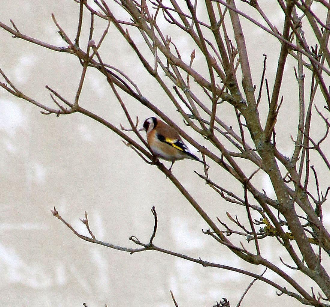 Stieglitz, European Goldfinch