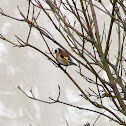 Stieglitz, European Goldfinch