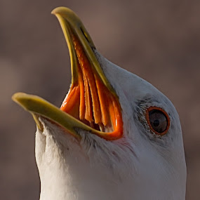 Fuck off!!! by Tom Mehlum - Animals Birds ( bird, seagull, sea, photo, photography )
