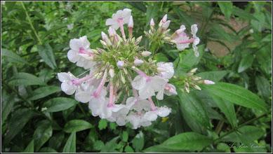 Photo: Brumărele (Phlox paniculata L.....) - din Turda, Str. Rapsodiei, Nr.6 - 2018.07.08