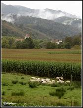Photo: Urdazubi / Urdax: El maiz naranja, las ovejas, las nieblas, el verde, el gris.......
