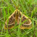 Marbled Emperor Moth
