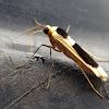 Pied Footmen Moth