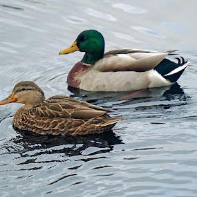 Mallard pair by Ashley Ellis - Animals Birds ( water, nature, mallard, pair, female, swim, male, ducks, pond,  )