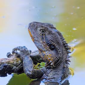 by Steve Hunt - Animals Reptiles ( queensland, australia, water dragon,  )