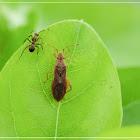 Daclera levana 扁緣蝽