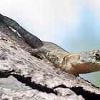 Calango / Lava Lizard / Ground Lizard