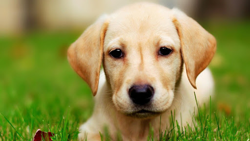 Labrador Dogs Live Wallpaper