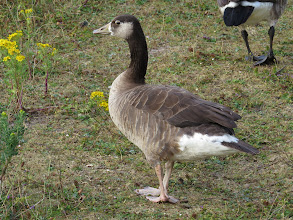 Photo: 18 Jul 13 Priorslee Flash: This close-up of the hybrid goose at The Flash shows how pale the legs are: much paler than any species of wild goose as far as I can see. Some Canada Goose genes are obvious; the bill looks Greylag. But the rest? (Ed Wilson)