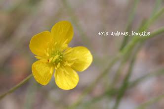 Photo: ΡΑΝΟΥΝΚΟΥΛΟΥΣ Ο ΘΥΛΑΚΟΕΙΔΗΣ rannunculus bullatus Νεραγκούλα που από τις ελάχιστες που φυτρώνει φθινόπωρο.Εχει βλαστό τριχωτό όρθιο και φύλλα ωοειδή 5 έως 12.Τα άνθη είναι κίτρινα με πολλούς στήμονες.