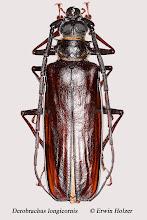 Photo: Derobrachus longicornis, 48 mm, Costa Rica, Rincon de la Vieja (10°45´/-85°21´), leg. Gernot Kunz, det. Herbert Schmid