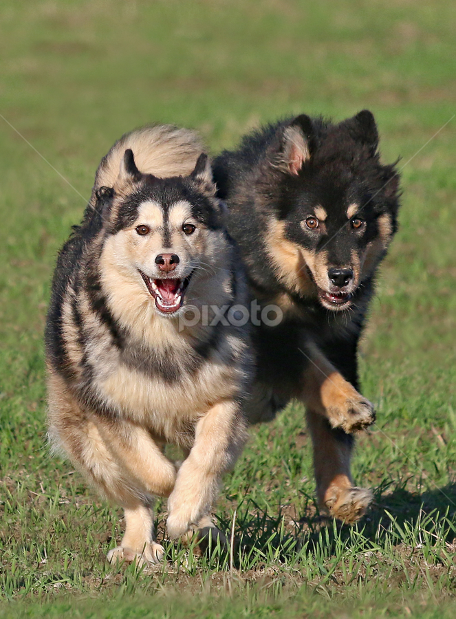 Siblings by Mia Ikonen - Animals - Dogs Playing ( running, mia ikonen, finnish lapphund, action, canine, pet, finland )