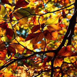 Shades by Aredhel Tasartir - Nature Up Close Trees & Bushes ( orange, autumn, forest, autumn colors, leaves, tree tops )