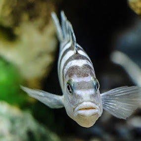 You looking at me? by Star Image - Animals Fish ( freshwater, fish, aquarium, african cichlid )