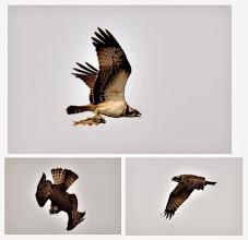 Photo: 撮影者:村山和夫 ミサゴ タイトル:ミサゴ現る 観察年月日:2014年11月2日 羽数:1羽 場所:淺川/ふれあい橋下流200M 区分:猛禽 メッシュ:武蔵府中3K コメント:定期カウントが終了し一人でオオバンの観察に戻った。オオバンを見ていたら頭上に現れ狩りをして、魚を掴み飛び去る。ミサゴが現れるポイントは、近くでダイサギ、コサギ、カワウが狩りをしている事。(魚が間違いなくいるので)