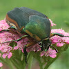 June bug, green June beetle