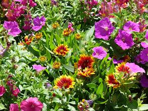Photo: Kokardenblume in voller Blüte