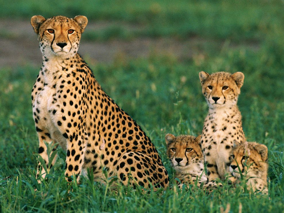 Image result for Cheetah