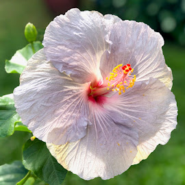 Hibiscus by Timothy Carney - Flowers Single Flower ( hibiscus, violet, flower )