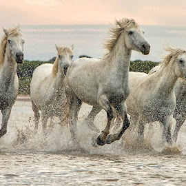 Camargue mares 5 by Helen Matten - Animals Horses ( to, wild, galliping, horses, marshes, camargue, white, mares, left, low, evening, right, light )