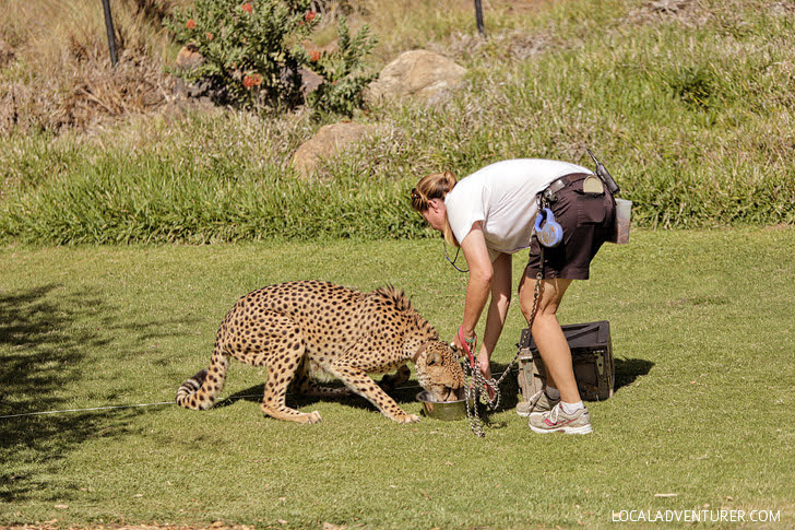 Cheetah Run San Diego Zoo Wild Animal Park.