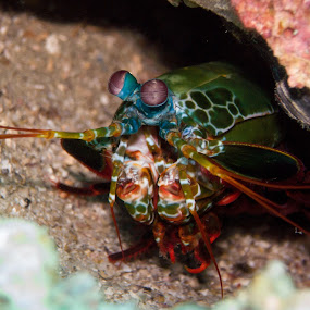 Mantis Shrimp Head by Daniel Sasse - Animals Sea Creatures ( marine, marinelife, plongee, ao nang, underwater, ecosystem, thailand, krabi, photography, scuba, buceo, tauchen, diving, eco, biology )