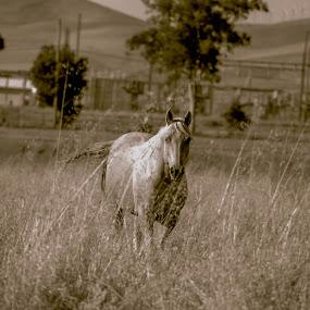 The Horse by Mehdi Laraqui - Animals Horses ( animals, nature, ranch., horse, animal,  )