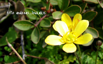 Photo: Ranunculus sp. ΝΕΡΑΓΚΟΥΛΑ